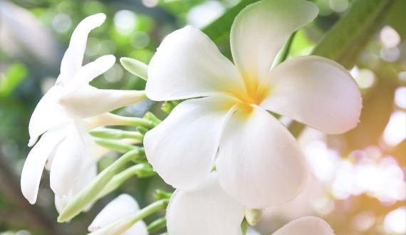 La Fleur De Tiare Mahana Monoï